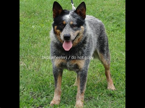queensland heeler puppies craigslist blue heeler puppies for sale breeds picture