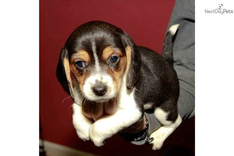 miniature beagle puppies beagle breed history beagles are one of the most breeds picture