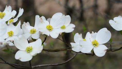 north carolina flower dogwood stock footage video shutterstock