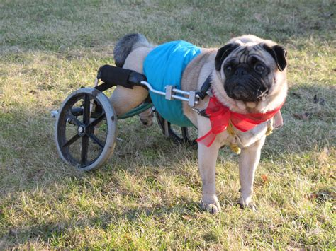pug running up stairs roscoe the paralyzed pug leaves world and wheels fixer toronto