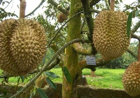Bibit Durian Musang King Palembang kebun durian montong related keywords kebun durian
