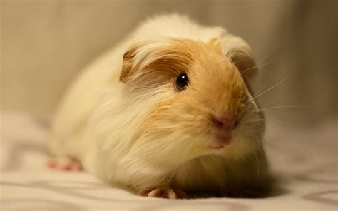 best bedding for guinea pigs best bedding for guinea pigs reviews and tips for making
