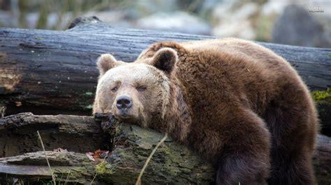bear wallpaper   subwallpaper