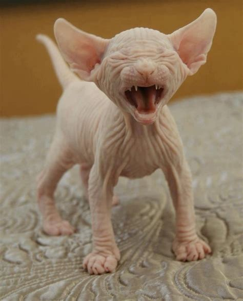 dogs without fur without hair hypoallergenic das funnnny