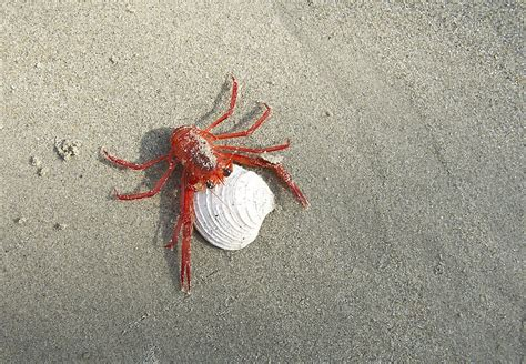 Southern California Crustaceans The Heiress Crab by Thousands Of Fiery Crabs Wash Ashore In Newport