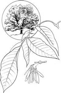 elm tree coloring page elm tree coloring pages