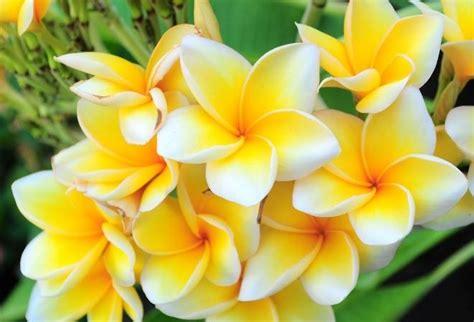 Bibit Bunga Kamboja Ungu Terbaru macam macam tanaman hias dan harganya terbaru 2016