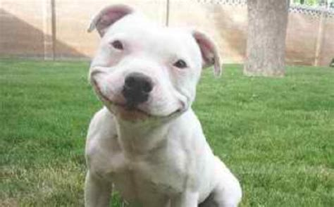 adorable pitbull puppies pit bulls can be here are 15 adorable pit bull pics that will brighten your day