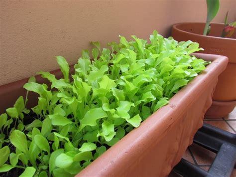 coltivare lattuga in vaso cosa coltivare nell orto in balcone o nel giardino la