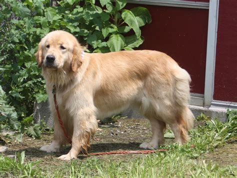 golden retriever hips field golden retriever vs show golden retriever lifesgoldenmoments