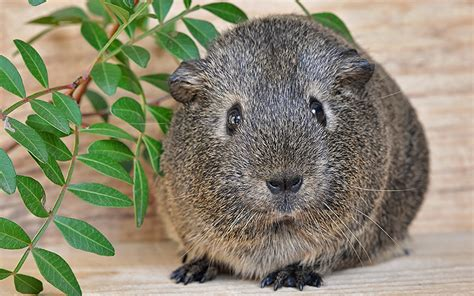 boy guinea pig names  great names  male guinea pigs