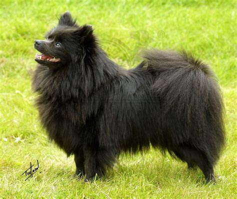 spitz breeds german spitz breed guide learn about the german spitz