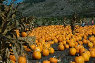 Pumpkin Patches In File Pumpkin Patch Jpg Wikimedia Commons