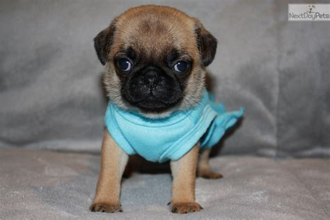 pugs dallas tx pug puppy for sale near dallas fort worth 3452e9b7 1081