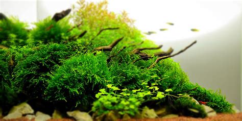 Aquascape Plants by Top 5 Best Aquarium Plants For Aquascaping Cherry Shrimp