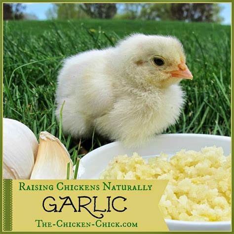 backyard poultry naturally 1000 images about i love chickens on pinterest raising
