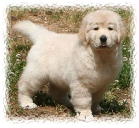 golden retriever puppies for sale in nc greensboro golden retriever breeders nc
