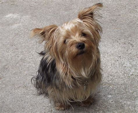 family yorkies rocky family friendly terrier colne lancashire pets4homes