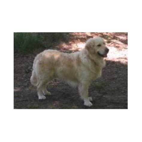 golden retrievers alabama prestige goldens golden retriever stud in hamilton alabama