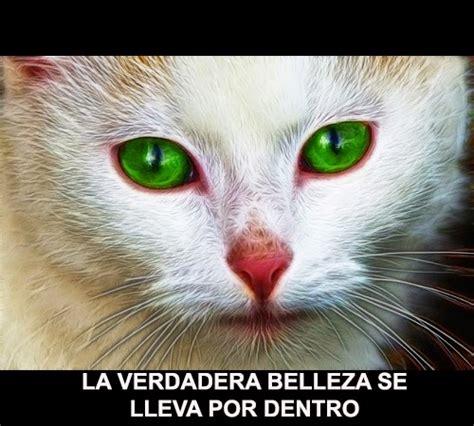 imagenes de ojos verdes de gatos im 225 genes de gatos bonitos minino de ojos verdes