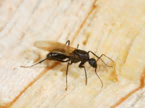 Ohio Basement Systems - repairing damage from termites carpenter ants amp pessts in your crawl space in victoria