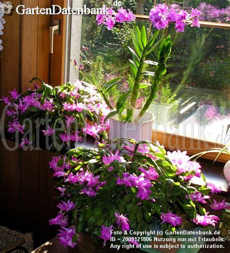 Zimmerorchideen Pflege by Bild Dendrobium Orchideen Pflege Als Zimmerpflanze