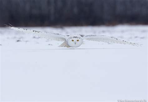 Canon Creative Park Snowy Owl - snowy owl bubo scandiaca sneugle author johnny