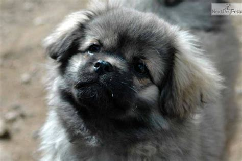 tibetan spaniel puppies sale tibetan spaniel puppy for sale near high rockies colorado 5ec554f7 cb71