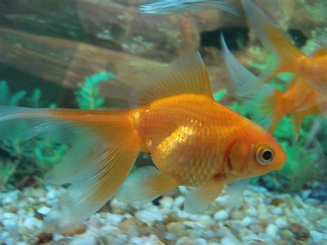 los peces de la fotos de peces carpa y peculiaridades de su cr 237 a im 225 genes de pez carpa