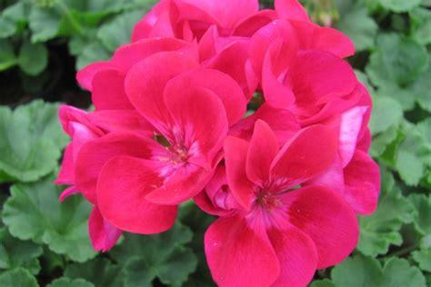 coltivazione fiori fiori primavera coltivare sul balcone