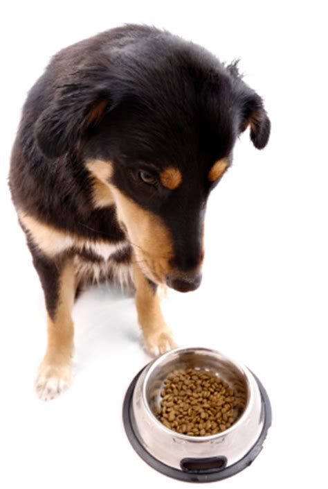 dog won t eat his food but will eat treats what do i do to get my pet to eat again pet lovers corner