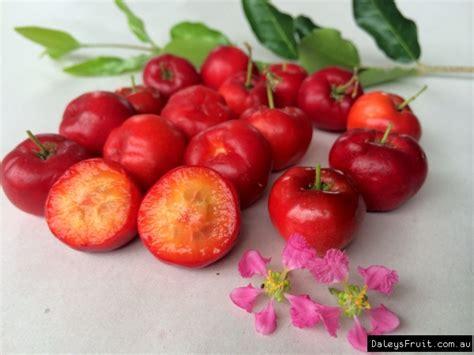 acerola cherry florida sweet malpighia emarginata
