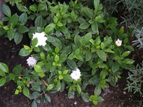 Gardenia Jasminoides Veitchii Gardenia Jasminoides Veitchii Garden Xcyyxh