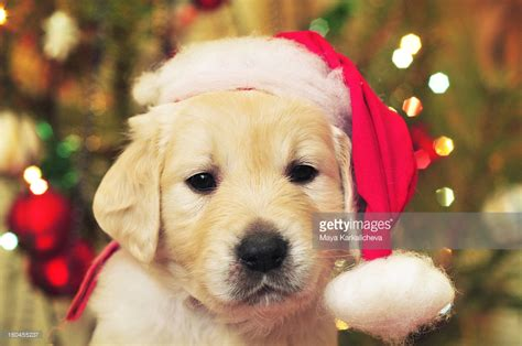 puppy golden retrievers with hats on golden retriever puppy with santa hat stock photo getty images
