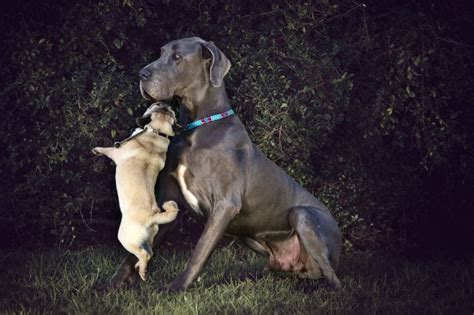 pug x great dane 1846 best images about dogs i on harlequin great danes blue great