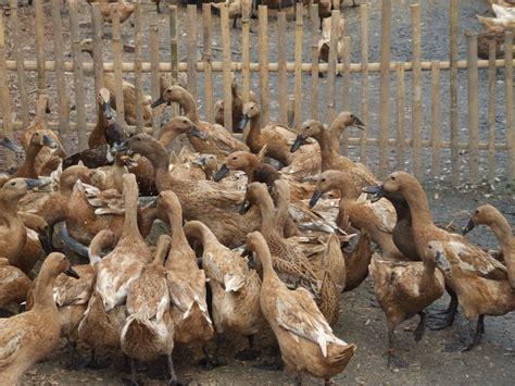 Bibit Bebek Potong pakan bebek dan manajemen pemberiannya saiefmuh