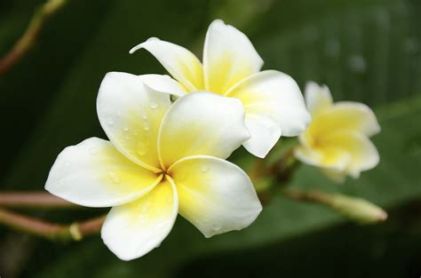 Suitable Meaning by Wedding Frangipani Articles Easy Weddings