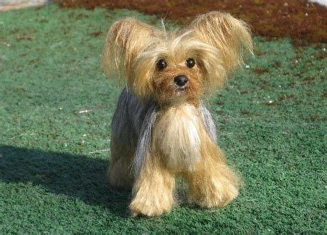 how to give a yorkie a haircut 39 best images about yorkie haircuts on the terrier