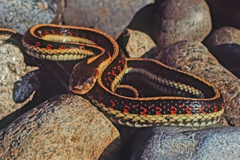 Types Of Garden Snakes by Common Garter Snake 183 Of Puget Sound