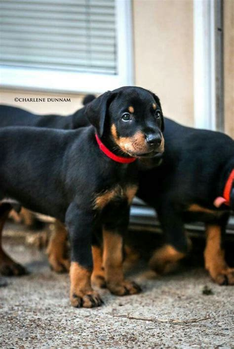 his name was my with a remarkable doberman pinscher books the 25 best warlock doberman ideas on