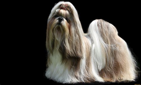 haired shih tzu shih tzu dogs with hair wallpapers and images wallpapers pictures photos
