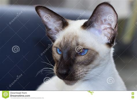 Portrait Of Beautiful Blue Eyes Seal-point Oriental Cat ... Free Clipart Of Siamese Cats