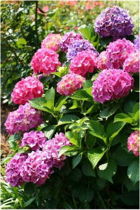 pink flower garden purple pink garden hydrangea flowers in the bright sun jpg