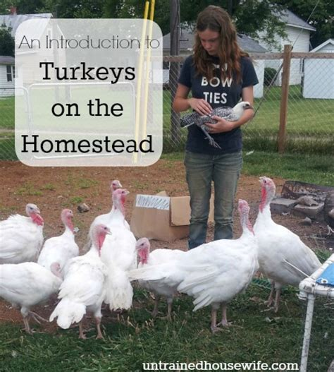 an introduction to raising turkeys on the homestead