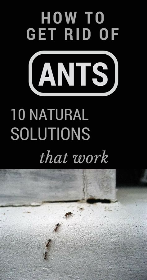 in house solutions how to get rid of black ants the happy housewife autos post