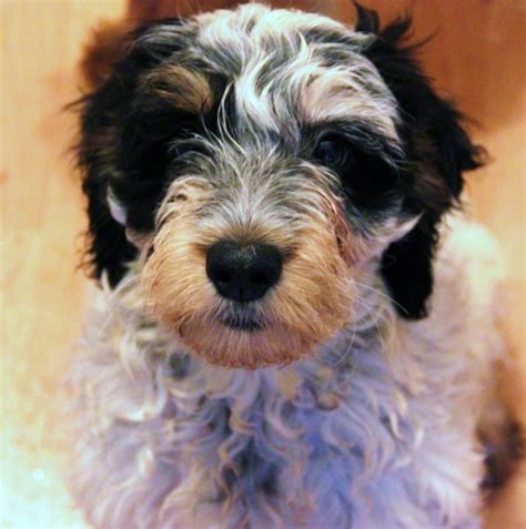 cockapoo puppies price price reduced f1 cockapoo puppy last 1 shrewsbury shropshire pets4homes