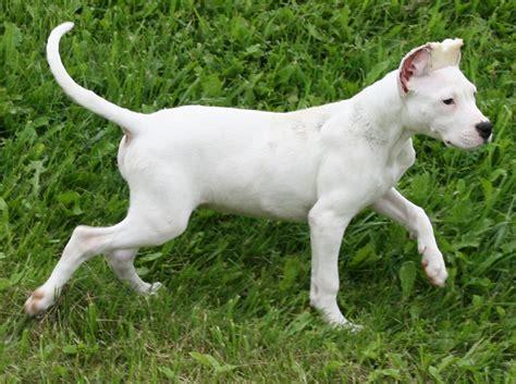 dogo puppies for sale dogo argentino puppies for sale toronto wroc awski informator internetowy wroc aw
