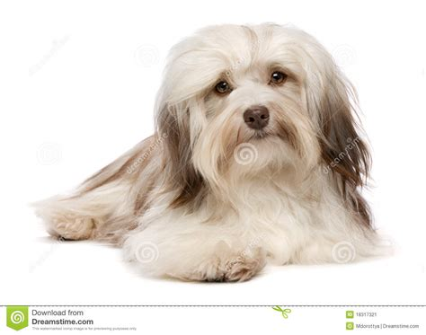 havanese de perro de mentira lindo de havanese chocolate imagen de archivo imagen 18317321