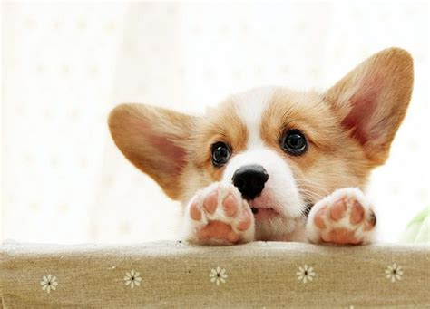 baby corgi puppies best 25 corgi puppies ideas on baby corgi corgis and corgi