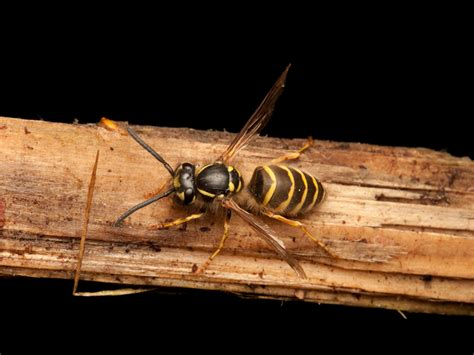 8 Tips On Getting Rid Of Yellow Jackets by Yellow Jackets How To Get Rid Of Yellowjackets Stingers